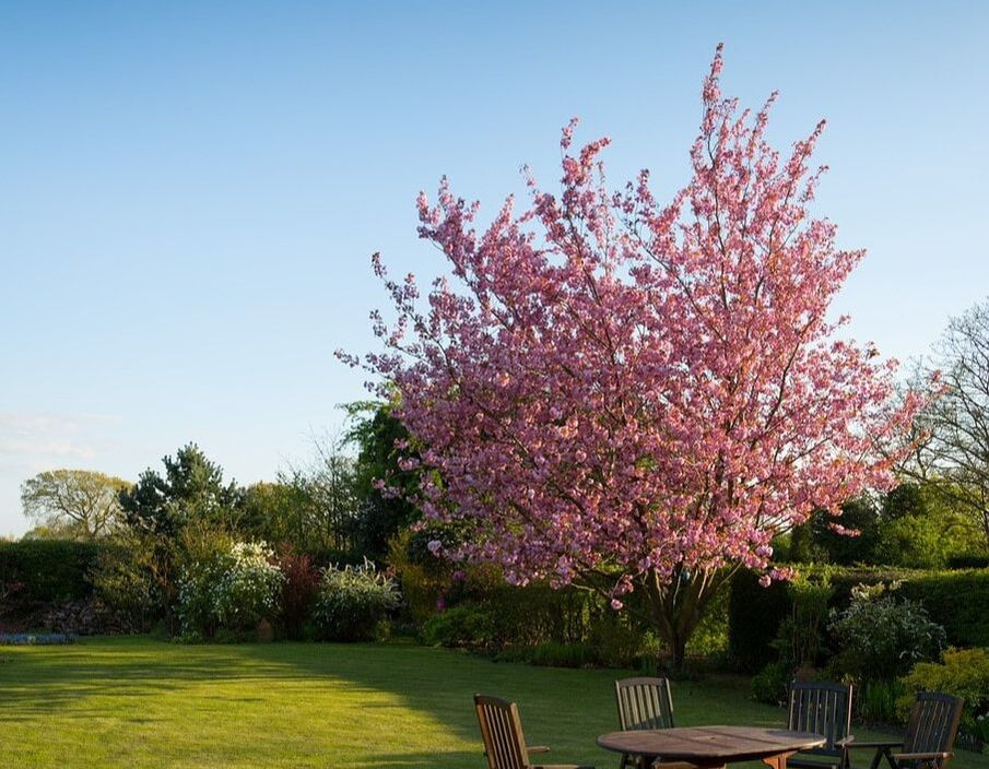 A pink flowering tree in a bright green lawn