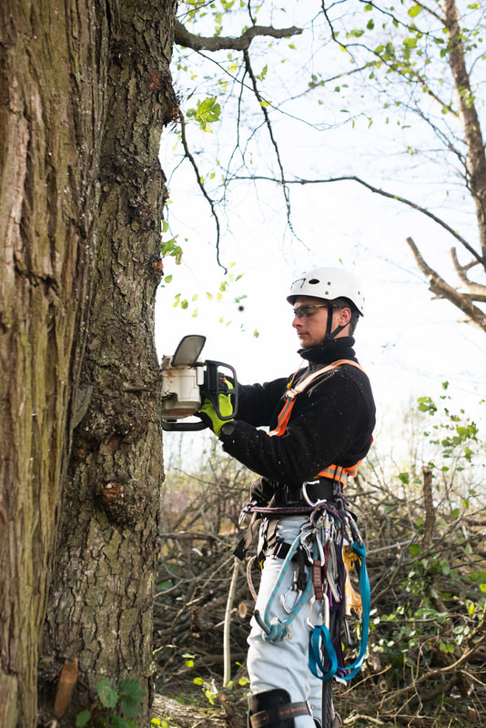 An arborist outfitted in tree cutting gear climbing a large tree